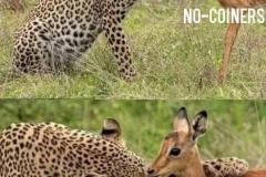 BTC-leopard